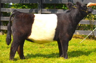 HC Sims Farms Belted Galloways
